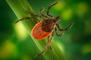 Eastern Black-legged Deer Tick (Ixodes scapularis)
