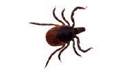 194x105_Is_it_Lyme_Disease--Blacklegged_Deer_Tick